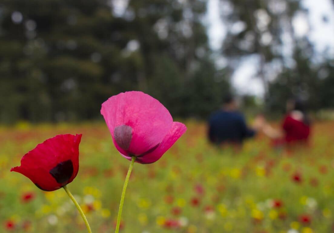 D3YUk5uW4AA IdG - أزهار الخشخاش تزين سفوح جبال الأمانوس التركية