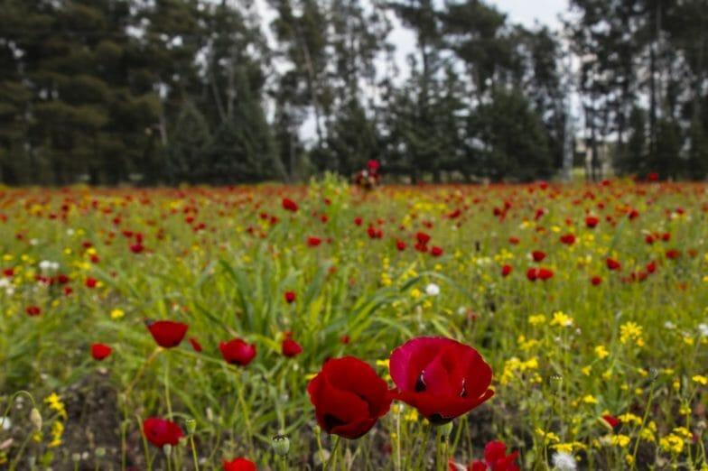 أزهار الخشخاش تزين سفوح جبال الأمانوس التركية