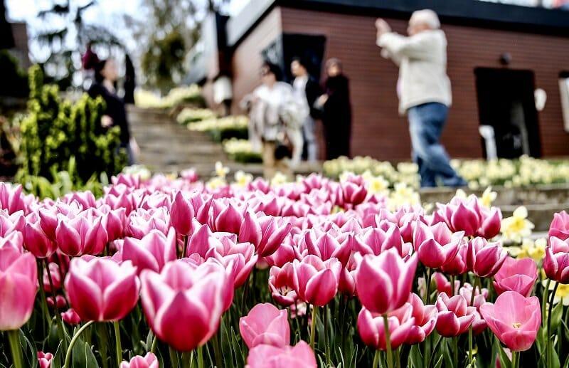 D3tMotsW4AcOfhy - حدائق إسطنبول تتزين بأزهار التوليب ذات الألوان المبهجة