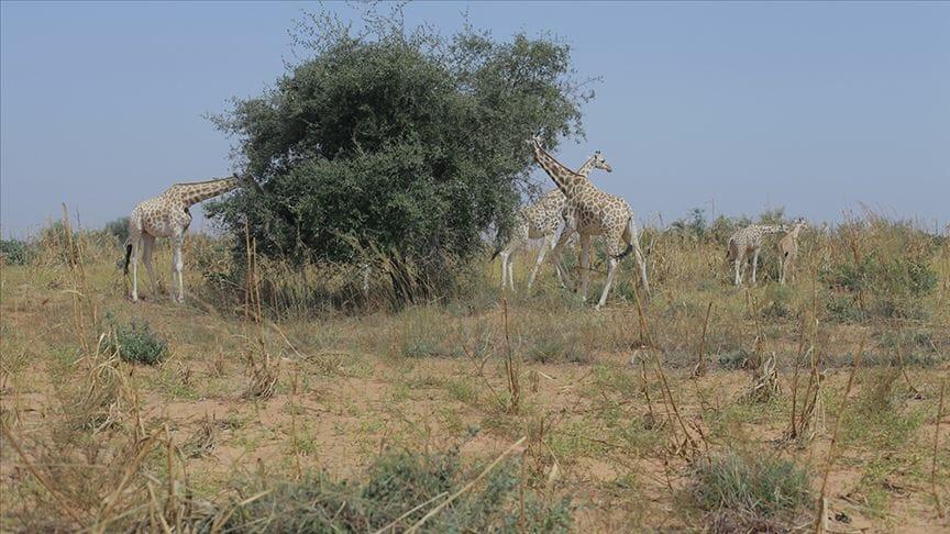 """""""تيكا"""" التركية تنفذ مشاريع لحماية زرافة معرضة للانقراض بالنيجر"""
