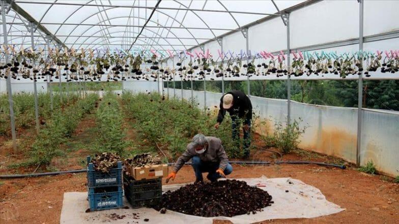 """بدء حصاد """"الورد الأسود"""" في أورفة التركية"""