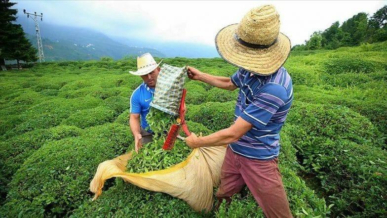 العالم يحتفل باليوم الدولي الأول للشاي