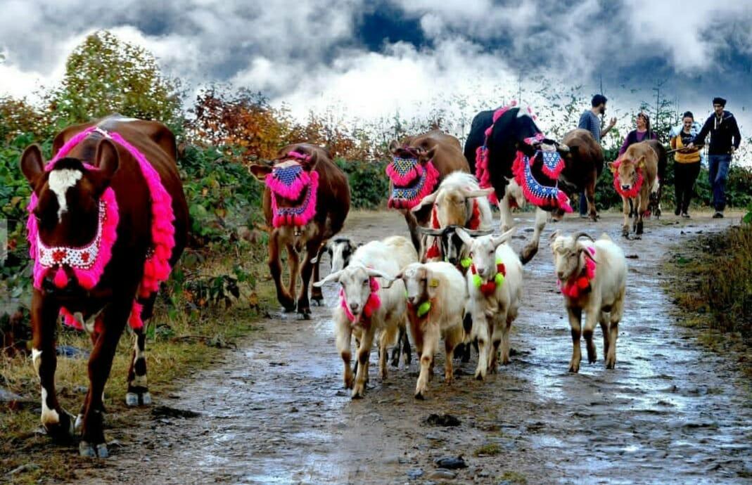 20200529 001955 - هجرة أهالي القرى مع مواشيهم المزينة شمالي تركيا