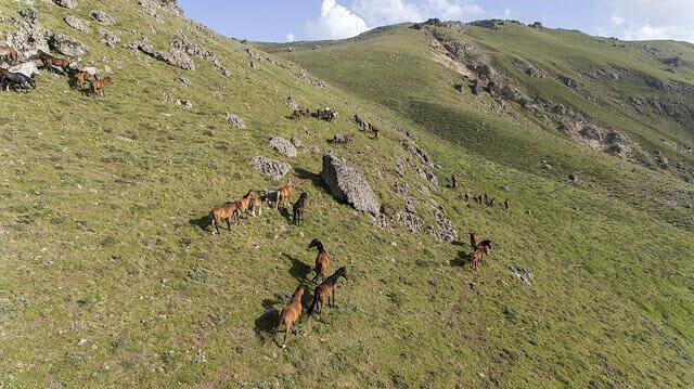 اهتمام رسمي وشعبي بالخيول البرية في هضاب وسط تركيا
