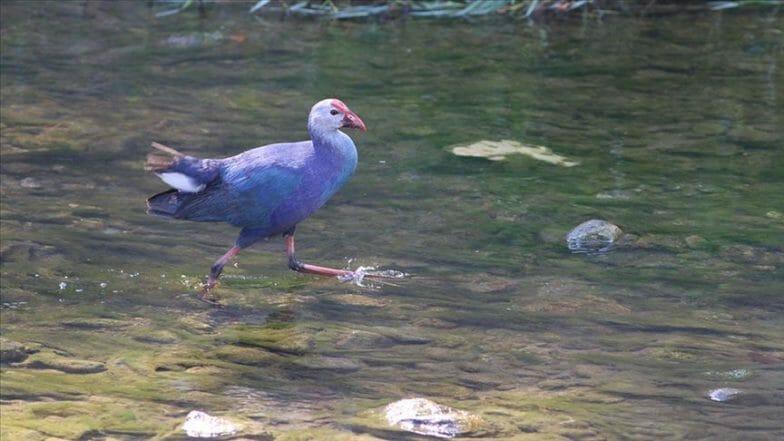 العثور على دجاجة الماء الأرجوانية المهددة بالإنقراض شمالي تركيا