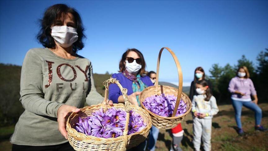 حقول الزعفران بتركيا.. تجذب السياح لموطن أغلى نبات في العالم