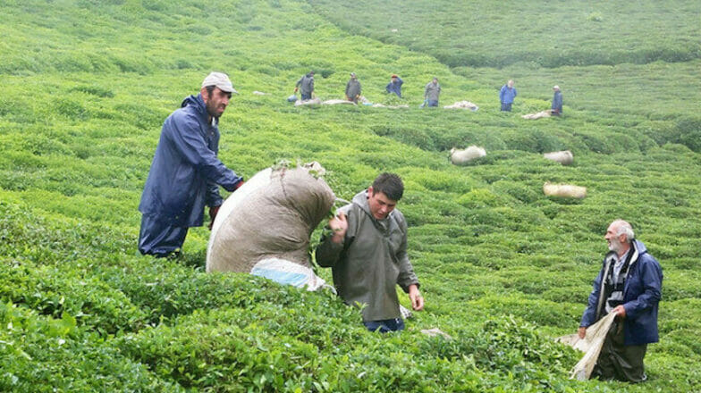 أرباح صادرات الشاي تبلغ 15 مليون دولار في 11 شهراً
