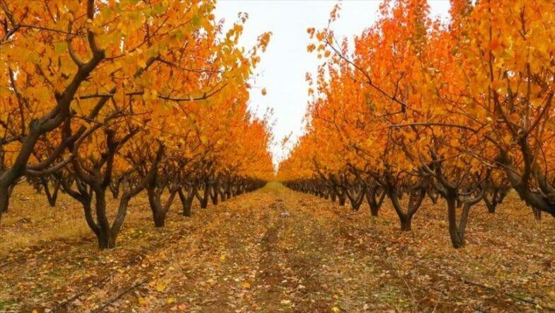 جبال الأمانوس.. حدائق الفاكهة تكتسي بألوان الخريف
