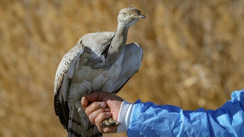 العثور على طائر بري نادر شرقي تركيا