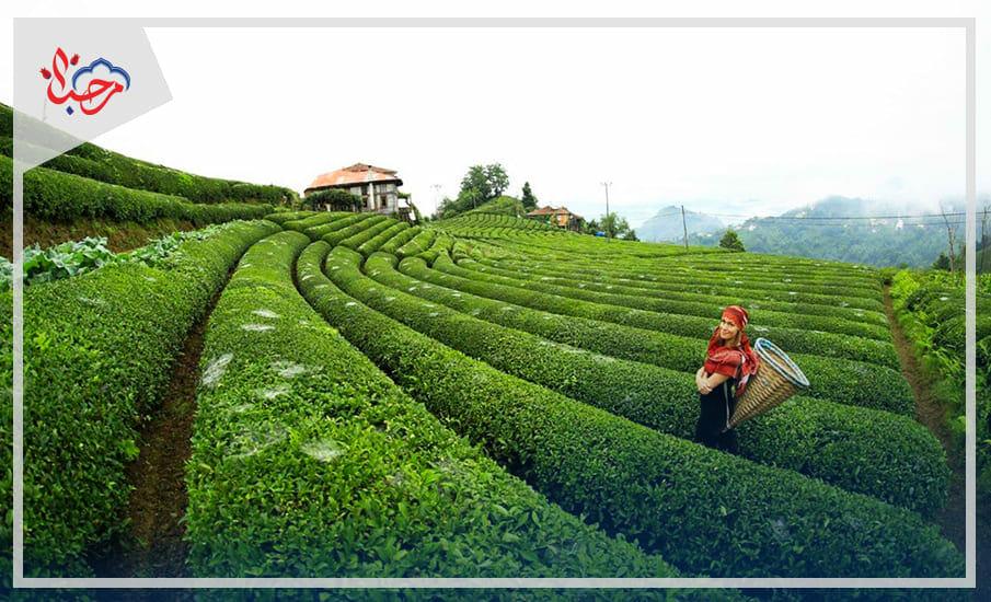 - الشاي التركي ثقافة شعب وعائد اقتصادي هام